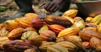 Cacao : Mighty Earth lance sa Carte responsabilité